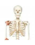 Scheletro umano e arti. legamenti articolari e inserzioni dei muscoli, 3b scientific, Erler Zimmer, SOMSO