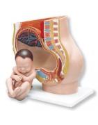 Modelli per ostetricia e ginecologia