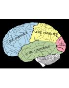 Modelli anatomici di cervello umano, didattico, scomponibile, con arterie, vendita online