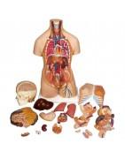 Modelli anatomici di torso umano, scomponibili, con organi interni, bisessuati, asessuati