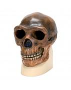 Crani Antropologici