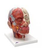 modelli anatomici di testa umana
